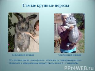 Самые крупные породы Бельгийский великан Серебристый великан Эти кролики имеют о