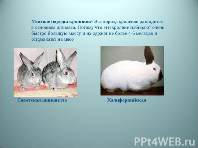 Мясные породы кроликов- Эта порода кроликов разводится в основном для мяса. Потому что эти кролики набирают очень быстро большую массу и их держат не более 4-6 месяцев и отправляют на мясо Советская шиншилла Калифорнийская