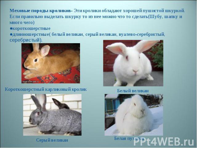 Меховые породы кроликов- Эти кролики обладают хорошей пушистой шкуркой. Если правильно выделать шкурку то из нее можно что то сделать(Шубу, шапку и много чего) ●короткошерстные ●длинношерстные( белый великан, серый великан, вуалево-серебристый, сере…