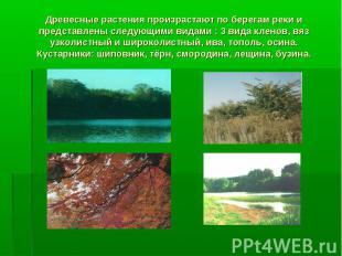 Древесные растения произрастают по берегам реки и представлены следующими видами