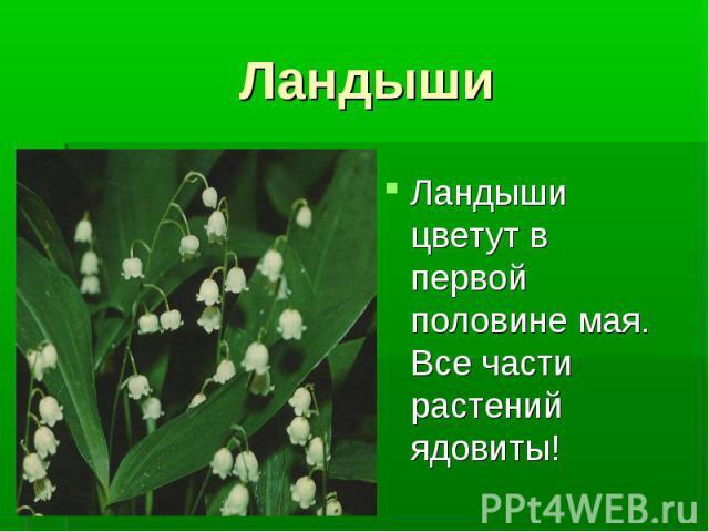 Ландыши Ландыши цветут в первой половине мая. Все части растений ядовиты!