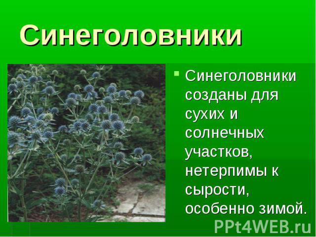 Синеголовники Синеголовники созданы для сухих и солнечных участков, нетерпимы к сырости, особенно зимой.