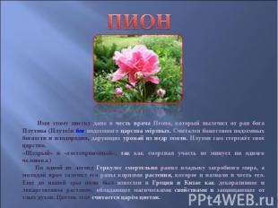 ПИОН Имя этому цветку дано в честь врача Пеона, который вылечил от ран бога Плут