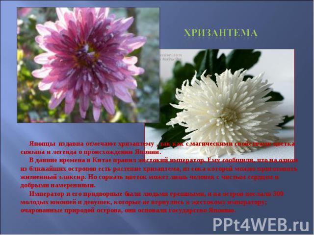 Хризантема Японцы издавна отмечают хризантему , так как с магическими свойствами цветка связана и легенда о происхождении Японии. В давние времена в Китае правил жестокий император. Ему сообщили, что на одном из ближайших островов есть растение хриз…