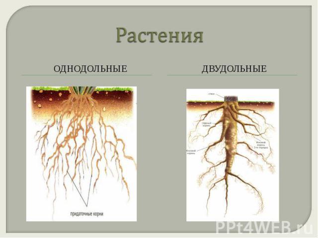 Растения однодольные двудольные