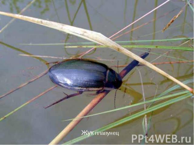 картинки растений и животных водоема суслик водомерка плавунец лещ закрывал
