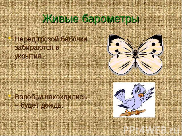 Живые барометры Перед грозой бабочки забираются в укрытия. Воробьи нахохлились – будет дождь.