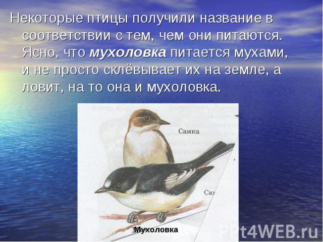 Некоторые птицы получили название в соответствии с тем, чем они питаются. Ясно, что мухоловка питается мухами, и не просто склёвывает их на земле, а ловит, на то она и мухоловка.