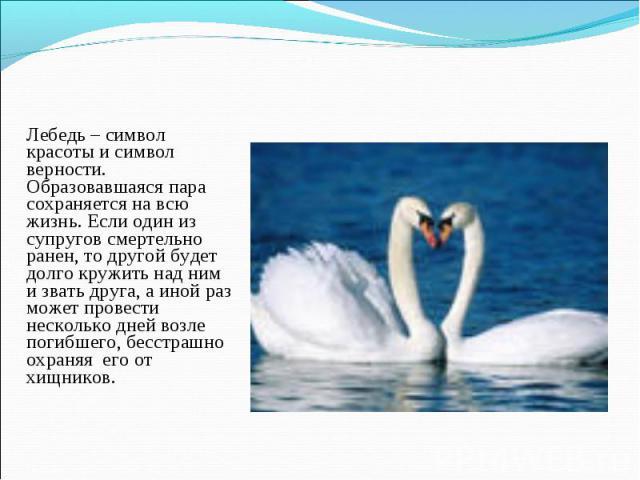 Лебедь – символ красоты и символ верности. Образовавшаяся пара сохраняется на всю жизнь. Если один из супругов смертельно ранен, то другой будет долго кружить над ним и звать друга, а иной раз может провести несколько дней возле погибшего, бесстрашн…