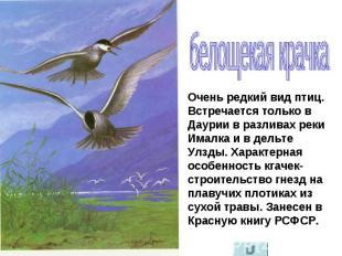 белощекая крачка Очень редкий вид птиц. Встречается только в Даурии в разливах р