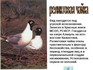 реликтовая чайка Вид находится под угрозой исчезновения. Занесен в Красные книги