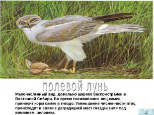 полевой лунь Малочисленный вид. Довольно широко распространен в Восточной Сибири