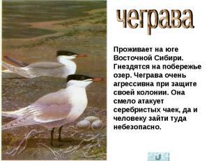 чеграва Проживает на юге Восточной Сибири. Гнездятся на побережье озер. Чеграва