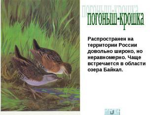 погоныш-крошка Распространен на территории России довольно широко, но неравномер