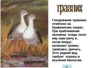 травник Гнездование травника отмечено на Еравнинских озерах. При приближении чел