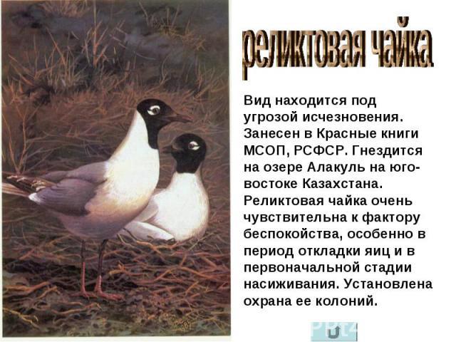реликтовая чайка Вид находится под угрозой исчезновения. Занесен в Красные книги МСОП, РСФСР. Гнездится на озере Алакуль на юго-востоке Казахстана. Реликтовая чайка очень чувствительна к фактору беспокойства, особенно в период откладки яиц и в перво…
