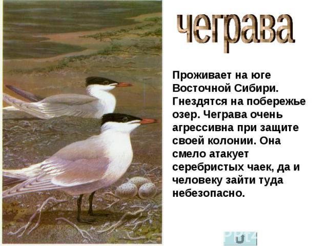 чеграва Проживает на юге Восточной Сибири. Гнездятся на побережье озер. Чеграва очень агрессивна при защите своей колонии. Она смело атакует серебристых чаек, да и человеку зайти туда небезопасно.