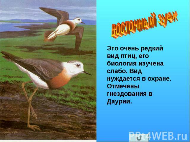 восточный зуек Это очень редкий вид птиц, его биология изучена слабо. Вид нуждается в охране. Отмечены гнездования в Даурии.