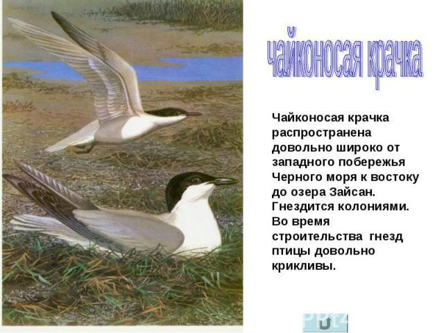 чайконосая крачка Чайконосая крачка распространена довольно широко от западного побережья Черного моря к востоку до озера Зайсан. Гнездится колониями. Во время строительства гнезд птицы довольно крикливы.