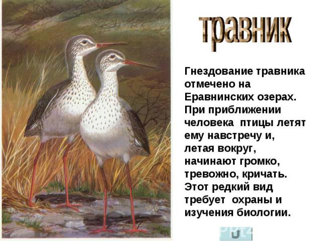травник Гнездование травника отмечено на Еравнинских озерах. При приближении человека птицы летят ему навстречу и, летая вокруг, начинают громко, тревожно, кричать. Этот редкий вид требует охраны и изучения биологии.