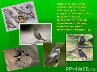 Птицы парков и садов обитают возле жилья человека, уничтожая вредных насекомых.