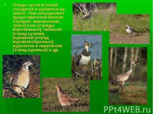 Птицы лугов и полей гнездятся и кормятся на земле. Они объединяют представителей
