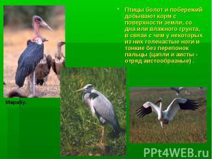 Птицы болот и побережий добывают корм с поверхности земли, со дна или влажного г