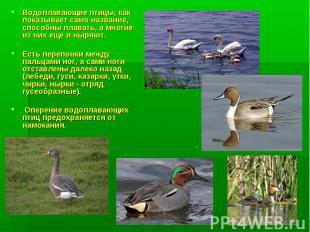 Водоплавающие птицы, как показывает само название, способны плавать, а многие из