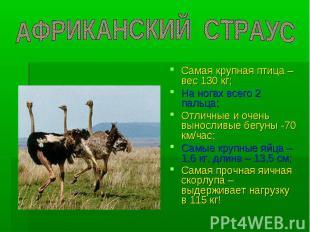 АФРИКАНСКИЙ СТРАУС Самая крупная птица – вес 130 кг; На ногах всего 2 пальца; От