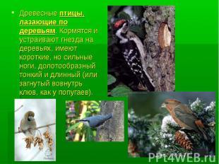 Древесные птицы, лазающие по деревьям. Кормятся и устраивают гнезда на деревьях,