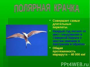 ПОЛЯРНАЯ КРАЧКА Совершает самые длительные перелеты. Каждый год летают от мест г
