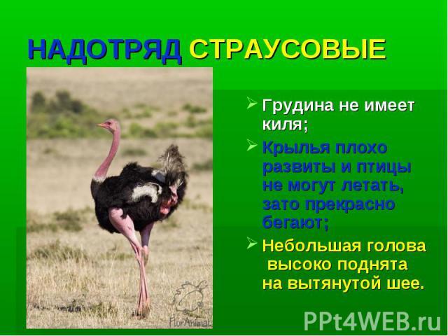 НАДОТРЯД СТРАУСОВЫЕ Грудина не имеет киля; Крылья плохо развиты и птицы не могут летать, зато прекрасно бегают; Небольшая голова высоко поднята на вытянутой шее.