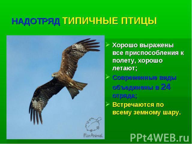 НАДОТРЯД ТИПИЧНЫЕ ПТИЦЫ Хорошо выражены все приспособления к полету, хорошо летают; Современные виды объединены в 24 отряда; Встречаются по всему земному шару.