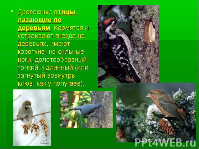 Древесные птицы, лазающие по деревьям. Кормятся и устраивают гнезда на деревьях, имеют короткие, но сильные ноги, долотообразный тонкий и длинный (или загнутый вовнутрь клюв, как у попугаев).