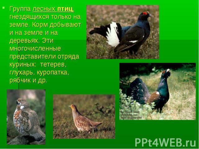 Группа лесных птиц, гнездящихся только на земле. Корм добывают и на земле и на деревьях. Эти многочисленные представители отряда куриных: тетерев, глухарь, куропатка, рябчик и др.