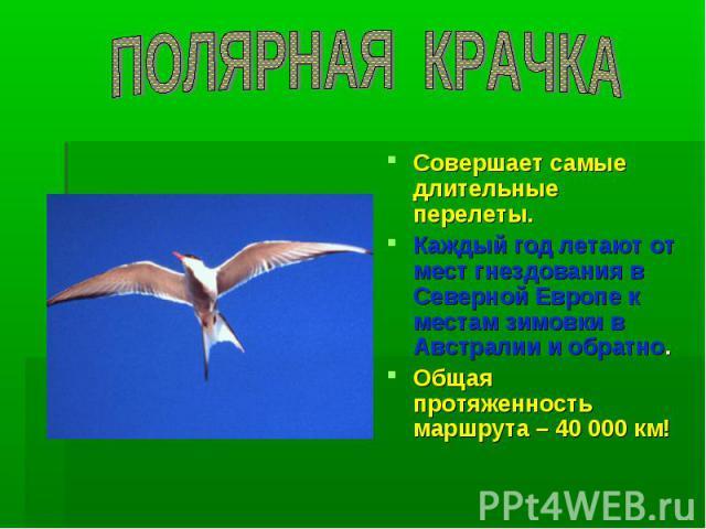 ПОЛЯРНАЯ КРАЧКА Совершает самые длительные перелеты. Каждый год летают от мест гнездования в Северной Европе к местам зимовки в Австралии и обратно. Общая протяженность маршрута – 40 000 км!