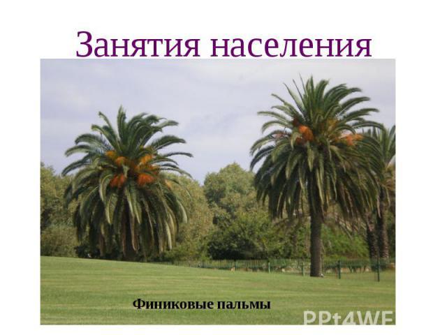 Занятия населения Финиковые пальмы