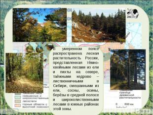В умеренном поясе распространена лесная растительность России, представленная тё