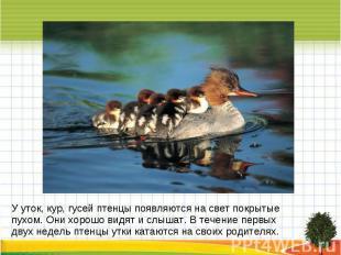 У уток, кур, гусей птенцы появляются на свет покрытые пухом. Они хорошо видят и