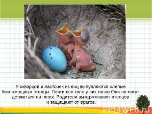 У скворцов и ласточек из яиц вылупляются слепые беспомощные птенцы. Почти все те