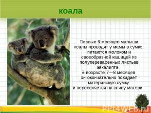 коала Первые 6 месяцев малыши коалы проводят у мамы в сумке, питаются молоком и