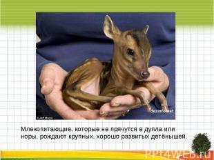 Млекопитающие, которые не прячутся в дупла или норы, рождают крупных, хорошо раз