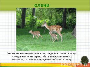 олени Через несколько часов после рождения оленята могут следовать за матерью. М