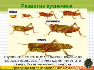 Развитие кузнечика У кузнечиков из яиц выходят личинки, похожие на взрослых насе
