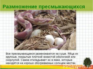 Размножение пресмыкающихся Все пресмыкающиеся размножаются на суше. Яйца их круп