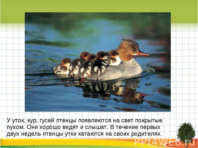 У уток, кур, гусей птенцы появляются на свет покрытые пухом. Они хорошо видят и слышат. В течение первых двух недель птенцы утки катаются на своих родителях.
