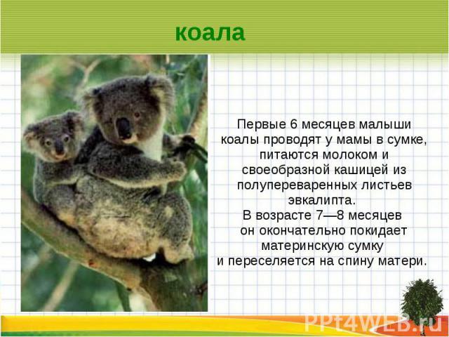 коала Первые 6 месяцев малыши коалы проводят у мамы в сумке, питаются молоком и своеобразной кашицей из полупереваренных листьев эвкалипта. В возрасте 7—8 месяцев он окончательно покидает материнскую сумку и переселяется на спину матери.