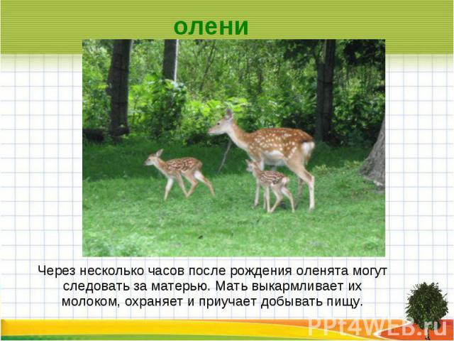 олени Через несколько часов после рождения оленята могут следовать за матерью. Мать выкармливает их молоком, охраняет и приучает добывать пищу.