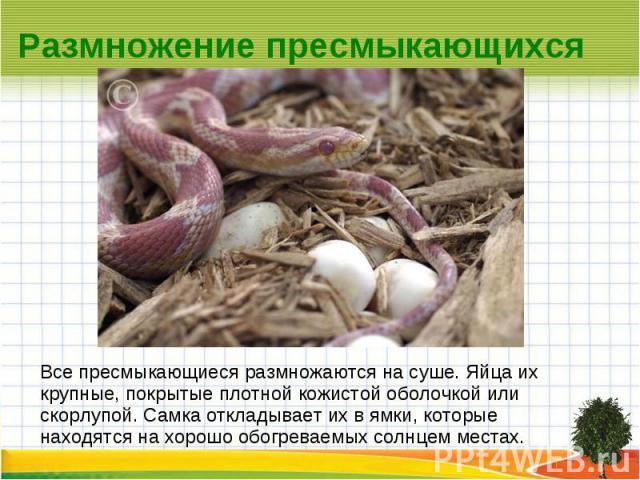 Размножение пресмыкающихся Все пресмыкающиеся размножаются на суше. Яйца их крупные, покрытые плотной кожистой оболочкой или скорлупой. Самка откладывает их в ямки, которые находятся на хорошо обогреваемых солнцем местах.