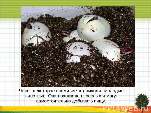 Через некоторое время из яиц выходят молодые животные. Они похожи на взрослых и могут самостоятельно добывать пищу.